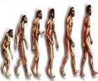 Secuencia de la evolución humana desde el australopithecus Lucy hasta el hombre moderno pasando entre otros por los hombres