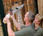 Cuidadores del zoológico o zoo alimentando a una jirafa