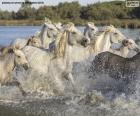 Manada de caballos salvajes pasando por el agua