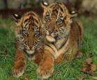Jovenes tigres