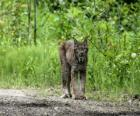 Lince o lynx con fuertes patas, largas orejas, corta cola y pelaje moteado