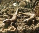Grandes lagartos sobre unas rocas