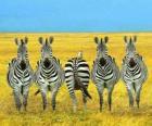Cinco cebras en la sabana africana