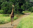 Jirafa en el camino
