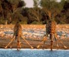 Dos jirafas, bebiendo en una charca de la sabana