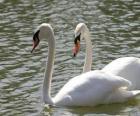 Cisnes nadando tranquilamente