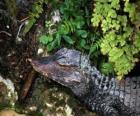 Cabeza de cocodrilo al acecho de una presa entre las plantas