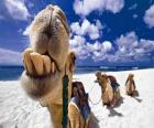 Los camellos de los tres Reyes Magos descansando en su camino hacia Belén