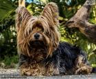 Perrito Terrier con sus largos pelos