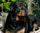 Rottweiler perro guardián