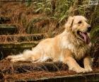 Golden retriever, en el jardin
