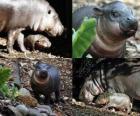 Hipopótamo pigmeo en el Zoológico de Taronga