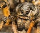 Una tarántula o araña pollito, una araña grande con patas largas llenas de pelos