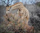 jirafa comiendo hojas de unos arbustos
