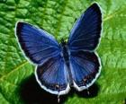 mariposa azul con las alas completamente abiertas
