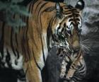 Tigre transportando a su cría