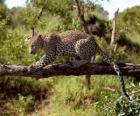 Jaguar sobre la rama de un árbol