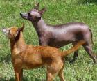 El xoloitzcuintle es una raza canina prácticamente sin pelo originaria de Mexico, aunque también hay con pelo