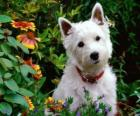 West Highland White Terriers son una raza de perros de Escocia conocida por su personalidad y color blanco brillante