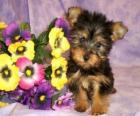 Cachorro de Terrier australiano o Australian Silky Terrier