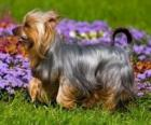 Terrier australiano o Australian Silky Terrier es un perro terrier originario de Australia