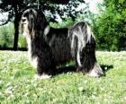 El Terrier tibetano o Tibetan Terrier es un perro de talla mediana de pelo largo
