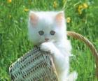 Lindo gatito blanco