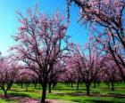 Almendros floridos en primavera