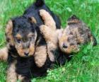 Cachorro de Terrier Galés
