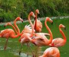 Flamencos en el agua, grandes aves zancudas de plumaje rosado