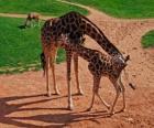 Jirafa adulta y jirafa bebé