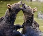 Dos osos en el agua