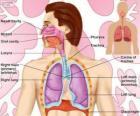 El aparato respiratorio o sistema respiratorio (ingles)