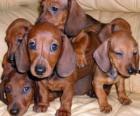 Cachorros de teckel, dackel o perro salchicha