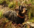 El dachshund, también llamado teckel, dackel o perro salchicha