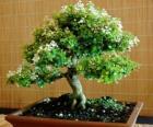 Árbol bonsái, árbol en miniatura en un bandeja según el arte japonés del bonsái