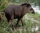 El Tapir, mboreví, anta, tlapizote, danta, pinchaque y macho de monte