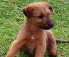 Cachorro de Terrier irlandés