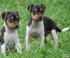 Cachorros de Terrier brasileño