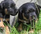 Cachorros de Terrier alemán o Jagdterrier
