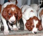 Cachorros de Setter irlandés rojo y blanco
