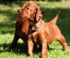 Cachorro de Setter irlandés