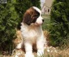 Cachorro de San bernardo