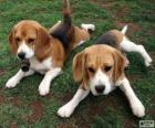 Cachorros de Foxhound americano