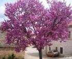 Árbol del amor, Ciclamor, algarrobo loco o árbol de Judas