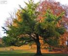 Ginkgo biloba, el Gingko o árbol de los cuarenta escudos