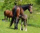 Württemberger o Württemberg, caballo originario de Alemania