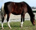 Wielkopolski caballo originario de Polonia
