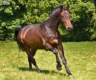 Westfaliano, caballo originario de Alemania