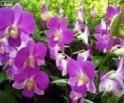 Orquídeas lilas